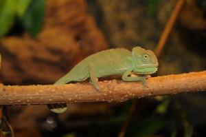 chameleon Arthur